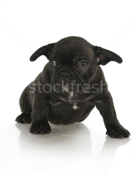 french bulldog puppy Stock photo © willeecole