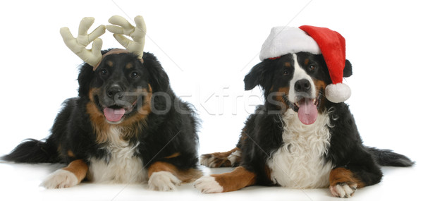 santa and rudolph dogs Stock photo © willeecole