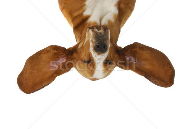 гончая прослушивании ушки из изолированный Сток-фото © willeecole
