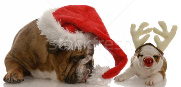 english bulldog dressed as santa and rudolph puppy Stock photo © willeecole