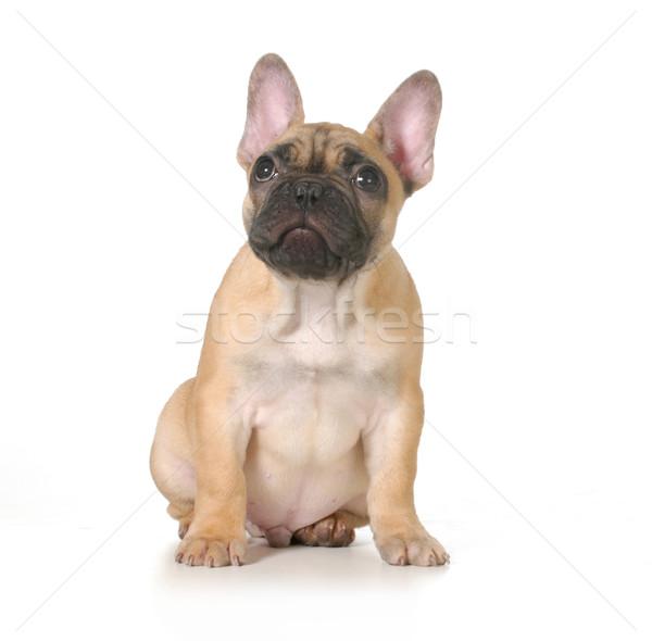 Rossz kutya francia bulldog kutyakölyök szégyenkezve Stock fotó © willeecole