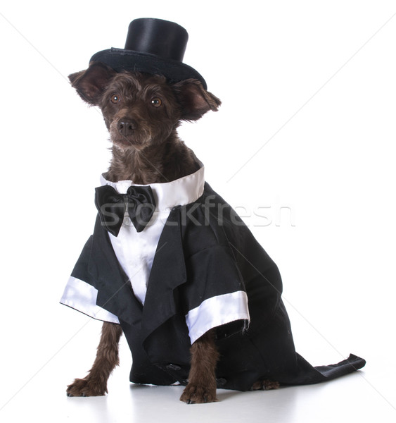 formal dog Stock photo © willeecole