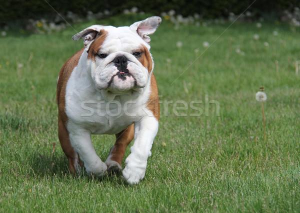 Bulldog fut kutya fű angol 25 Stock fotó © willeecole