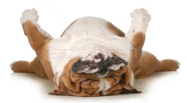 dog sleeping Stock photo © willeecole