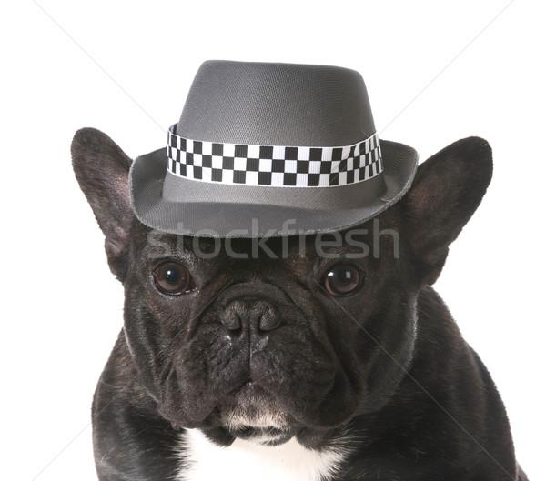 Psa fedora francuski bulldog hat Zdjęcia stock © willeecole