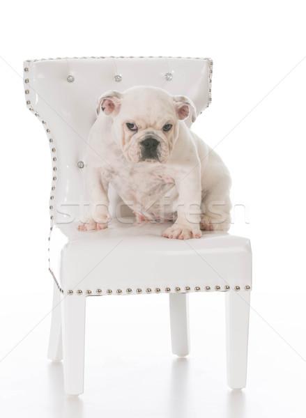 Méchant chiot anglais bulldog séance blanche Photo stock © willeecole