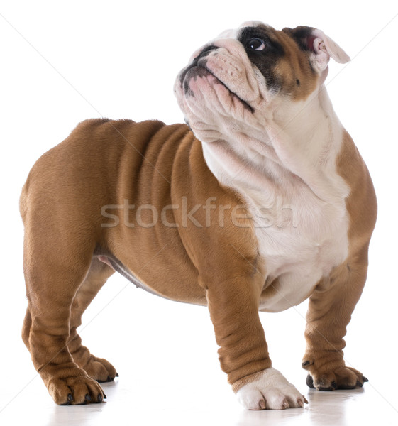cute puppy Stock photo © willeecole