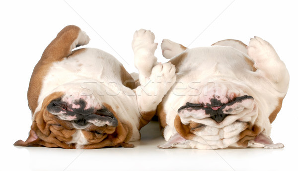 two dogs sleeping Stock photo © willeecole