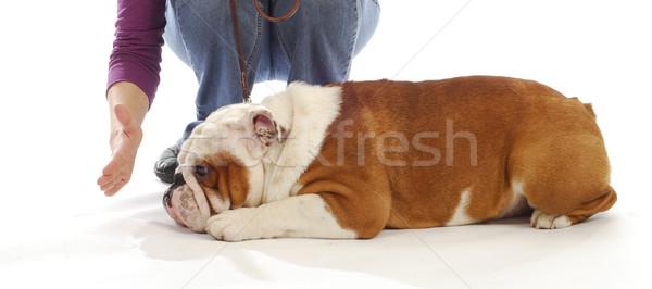 Obediencia formación Inglés bulldog abajo permanecer Foto stock © willeecole