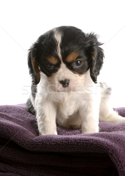 Stock photo: six week old tri color cavalier king charles spaniel puppy
