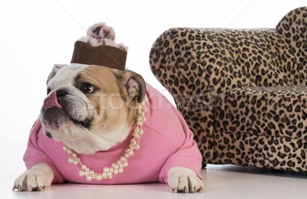 Femminile cane english bulldog indossare vestiti Foto d'archivio © willeecole