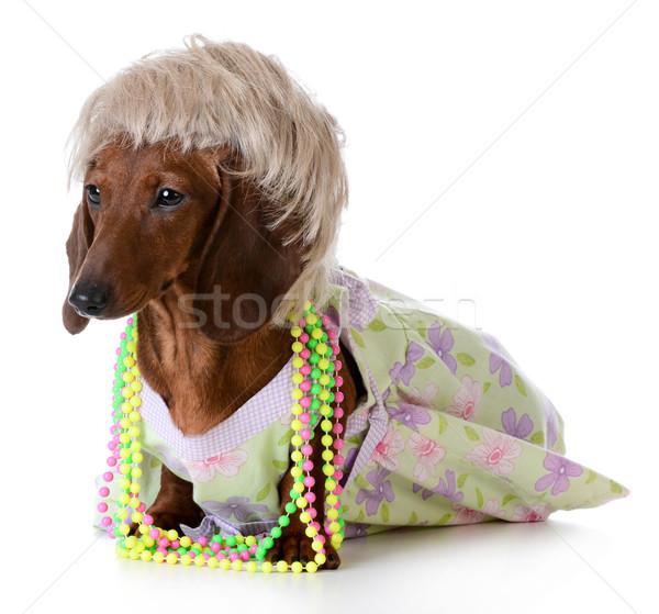 Stock fotó: Női · kutya · miniatűr · tacskó · visel · paróka