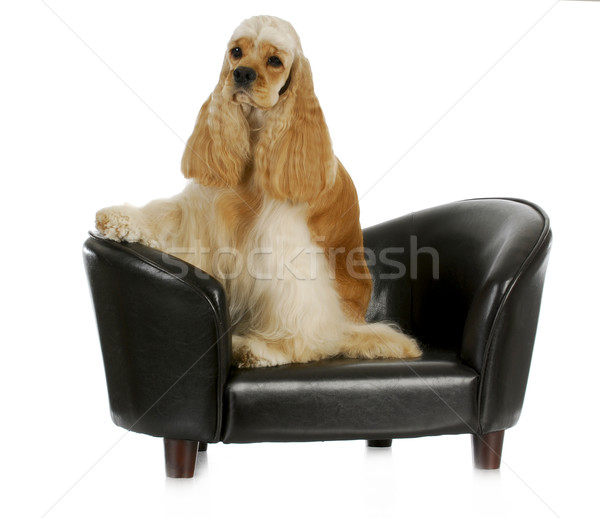 dog on the couch Stock photo © willeecole