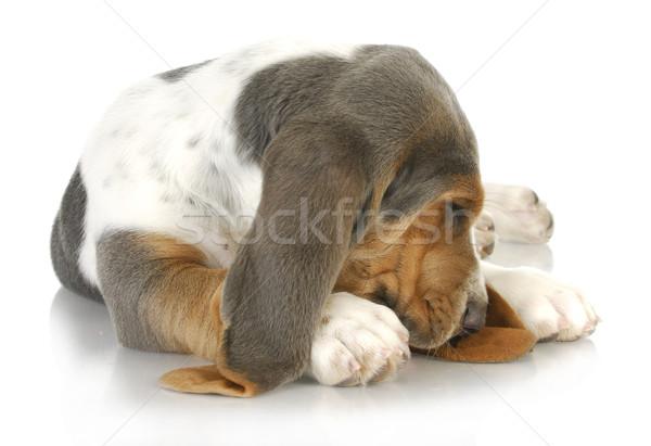 Assonnato cane bracco rannicchiata cute dormire Foto d'archivio © willeecole