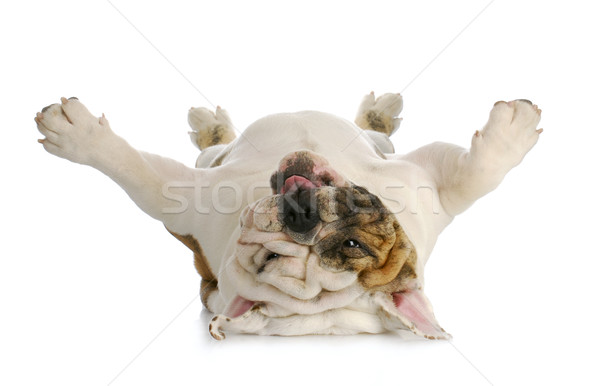 dog upside down Stock photo © willeecole