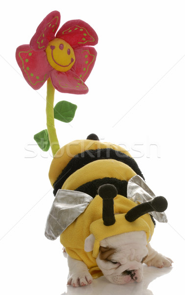 dog dressed as a bee with behind up to pollinate a flower Stock photo © willeecole
