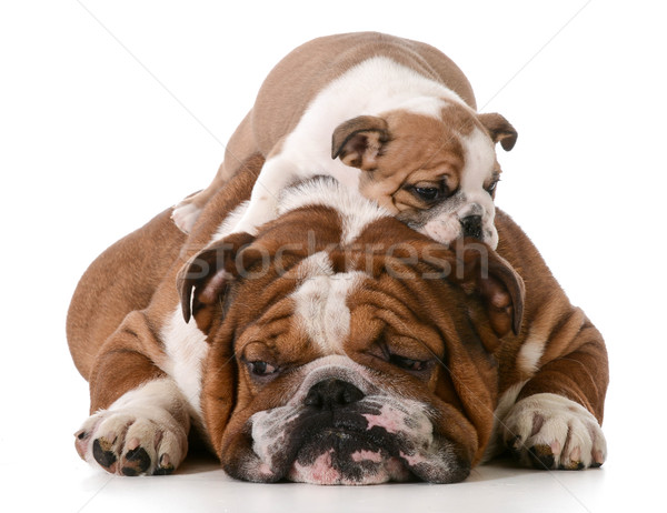 Kutya apa fia fektet hát izolált fehér Stock fotó © willeecole