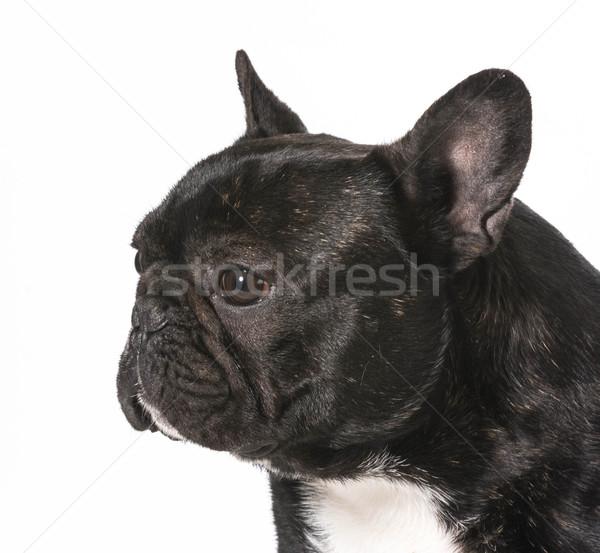 французский бульдог мужчины один год собака портрет Сток-фото © willeecole