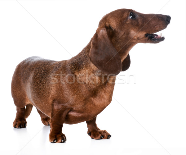 dog barking Stock photo © willeecole