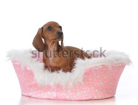 Hond rauw voedsel miniatuur teckel eten Stockfoto © willeecole