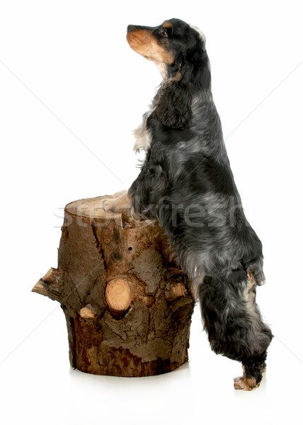 english cocker spaniel Stock photo © willeecole