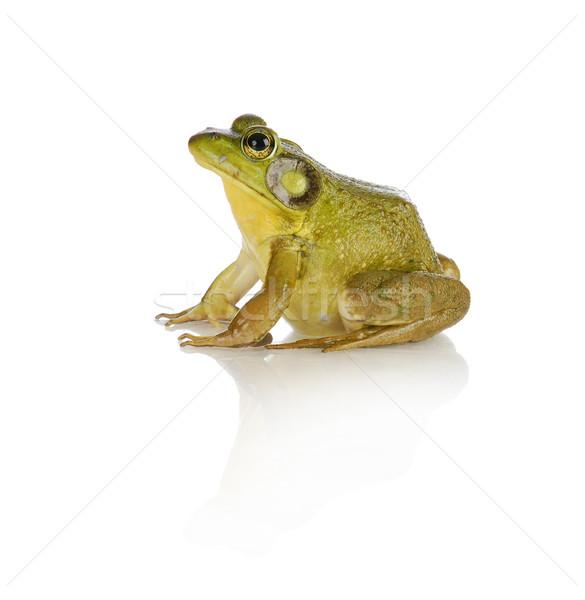 bullfrog  Stock photo © willeecole
