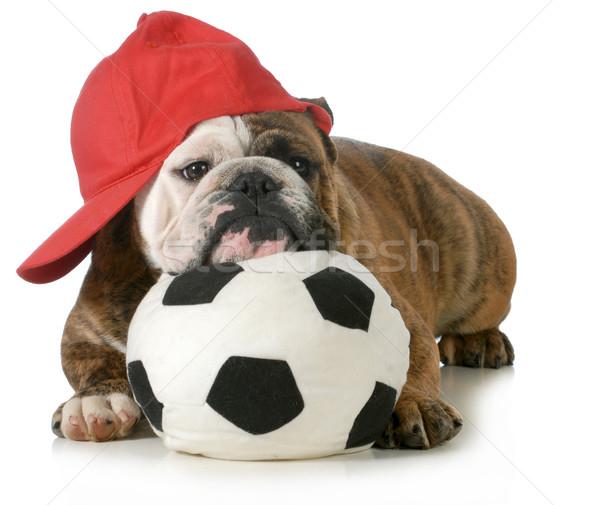 Stock fotó: Sportok · vadászkutya · angol · bulldog · fekszik · fej
