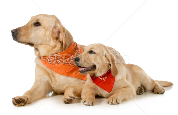 Stock photo: adult dog and puppy