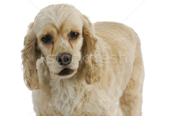 Stock fotó: Amerikai · fehér · állat · stúdió · kutyakölyök · barát