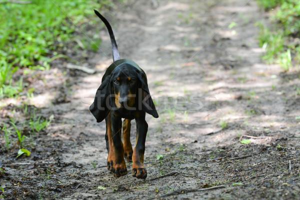 Vadászkutya fekete barna bőr sétál nyom erdő Stock fotó © willeecole