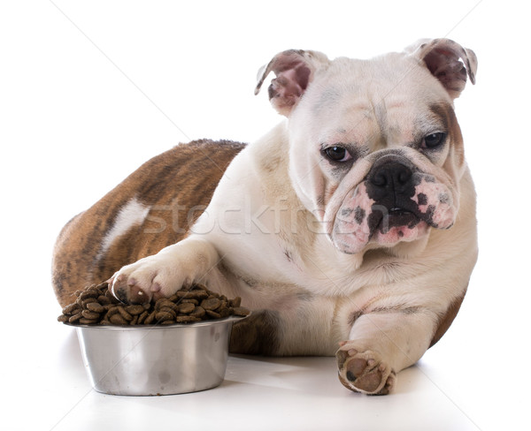Mascota bulldog cachorro Foto stock © willeecole