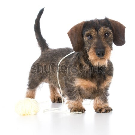 wirehaired miniature dachshund Stock photo © willeecole