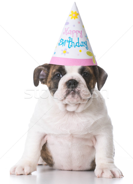 birthday bulldog puppy Stock photo © willeecole