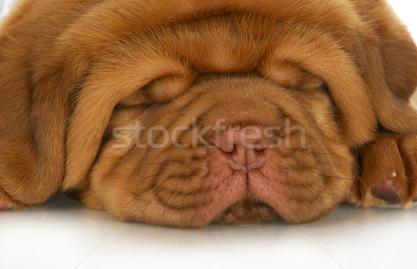 dogue de bordeaux puppy Stock photo © willeecole