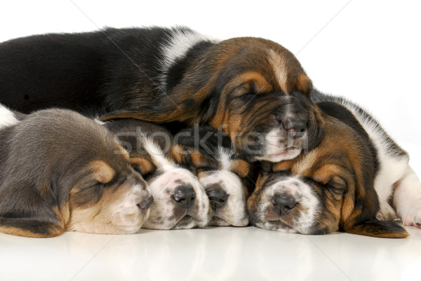 pile of puppies Stock photo © willeecole