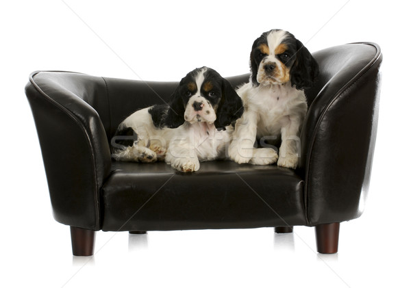 Stock fotó: Kettő · kiskutyák · kutya · kanapé · amerikai · háttér