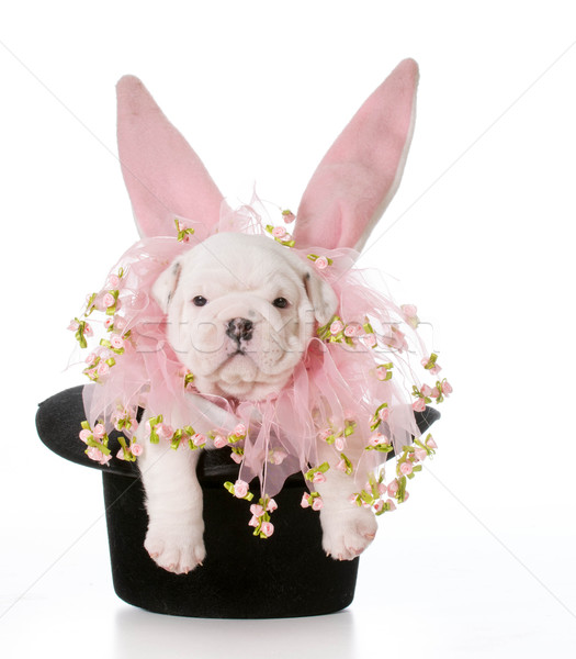 dog dressed as a rabbit Stock photo © willeecole