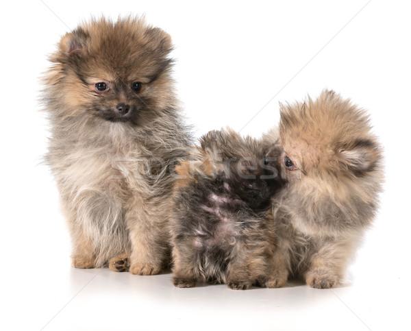 pomeranian puppies Stock photo © willeecole