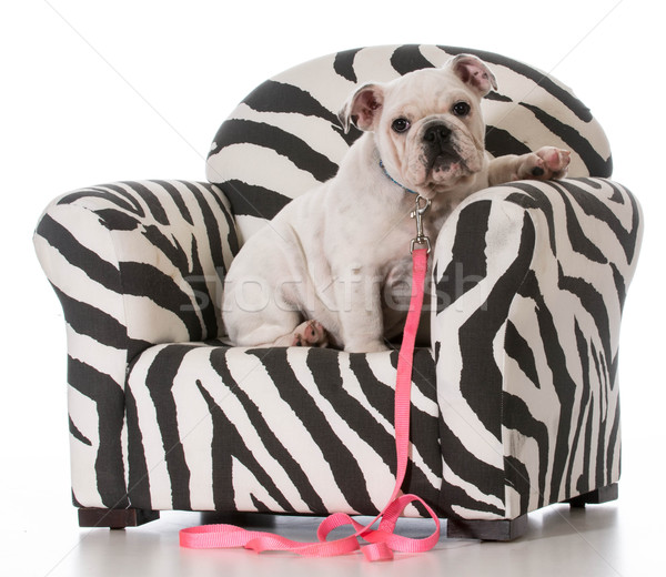 puppy sitting in chair Stock photo © willeecole