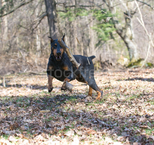 doberman chasing a stick Stock photo © willeecole