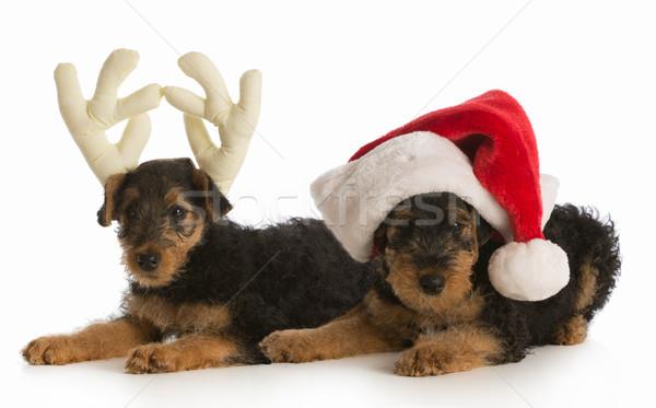 christmas puppies Stock photo © willeecole