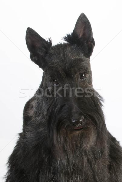 scottish terrier Stock photo © willeecole