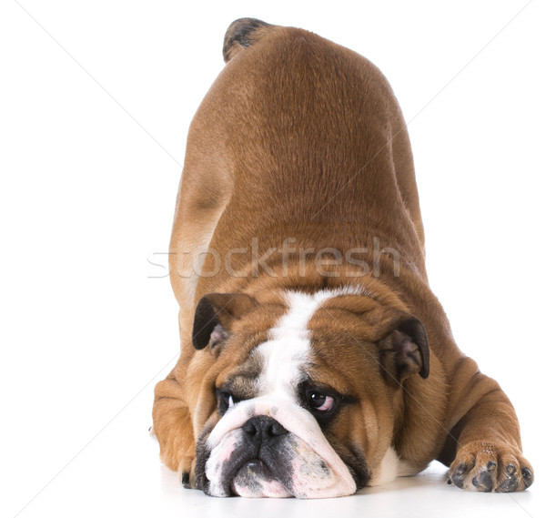 Chien bulldog chiot bum up air Photo stock © willeecole