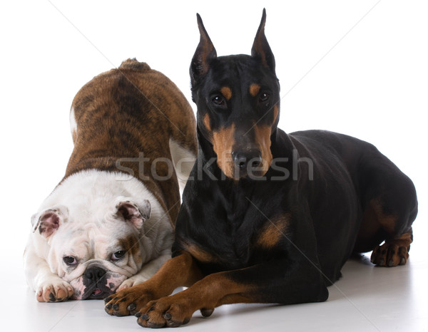 Kettő kutyák bulldog doberman együtt fehér Stock fotó © willeecole
