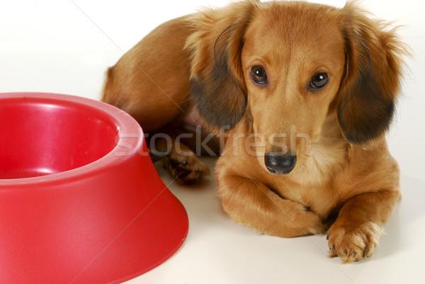 Stock photo: dog waiting to be fed