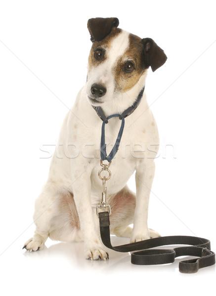 dog exercise Stock photo © willeecole