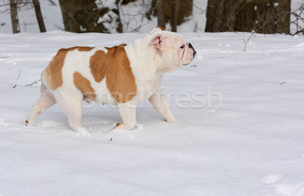dog in the snow Stock photo © willeecole