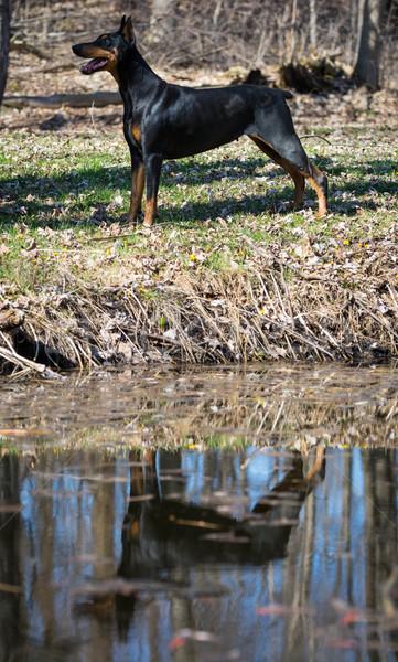 Doberman pie agua borde reflexión animales Foto stock © willeecole