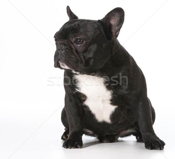 Francia bulldog ül egyéves férfi kutya Stock fotó © willeecole