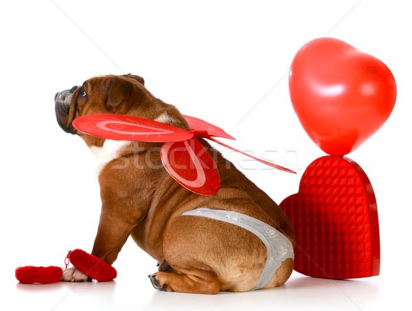 Valentijn hond cute bulldog thong Stockfoto © willeecole